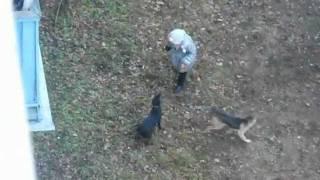 Собачьи бои во дворе / Dogfights in the yard