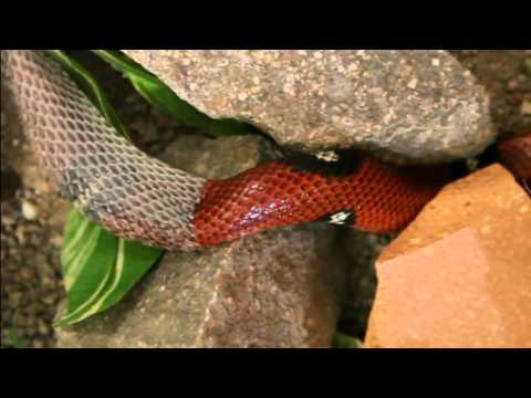 Snake shedding skin