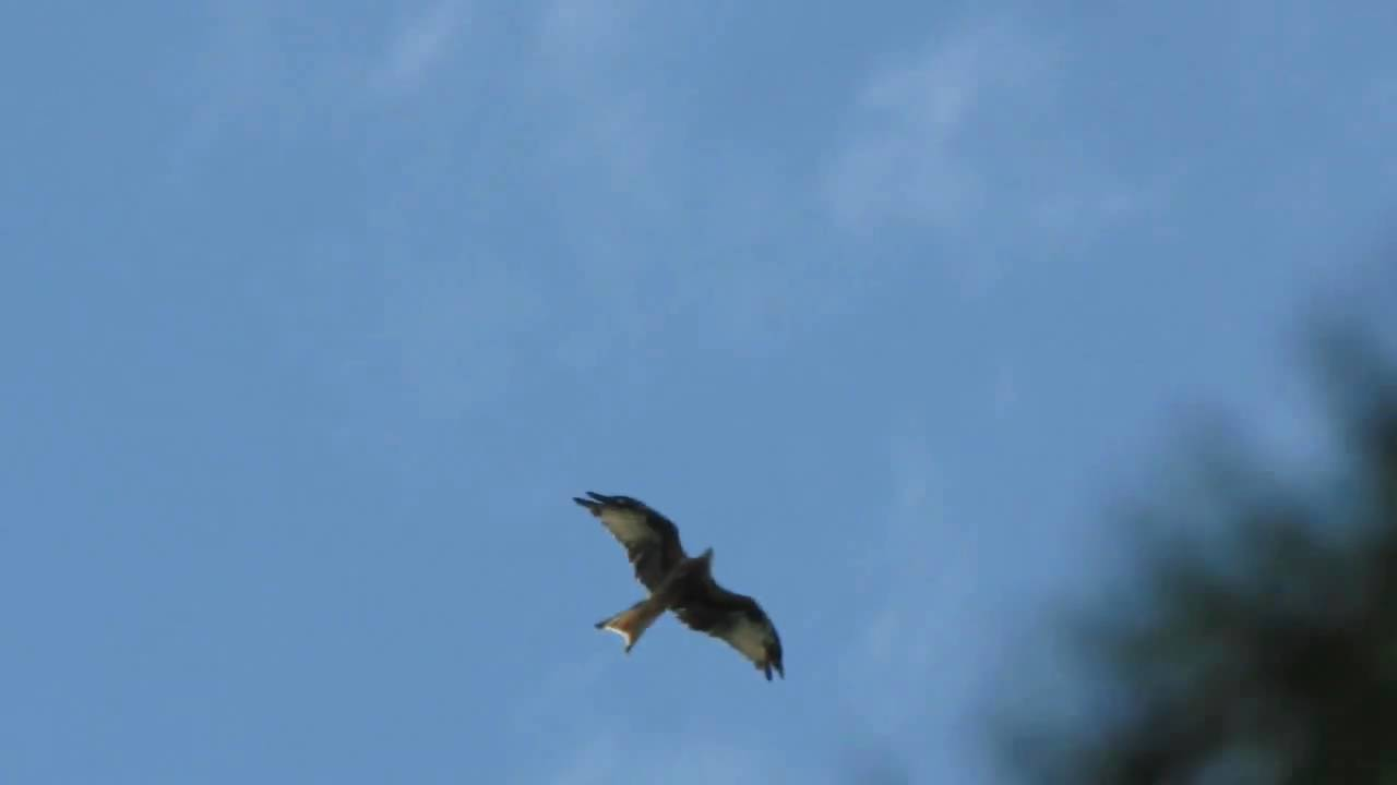 Red Kite British Birds Of Prey Uk Soaring Above Me Youtube