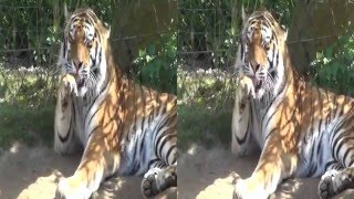 3D video - Gelsenkirchen Zoo - (3D SBS VR Box)