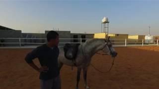 الحلقة الثالثه من عسف ( حصان فيه اطباع سيئة الهجوم والعض ) تغير ملحوظ في سلوكه والتطور في التروت