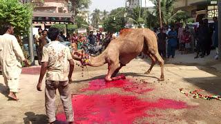 Eid Al Adha Qurbani Camel 2013