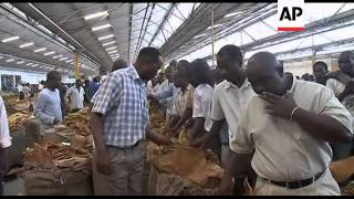 Tobacco farming on the rise in Zimbabwe