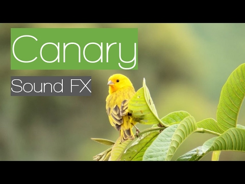 canary effect
