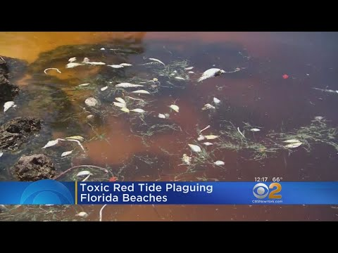 Toxic Red Tide Plagues Florida Beaches