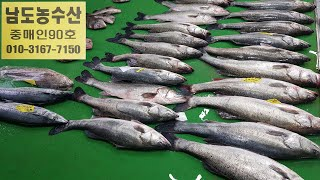 2월15일,(판매생선)자연산회(참농어,민어,삼치,밍돔,…