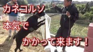 【関連動画】 イタリアン・カネコルソ襲って来ます!(後編) Dog Rescue ...