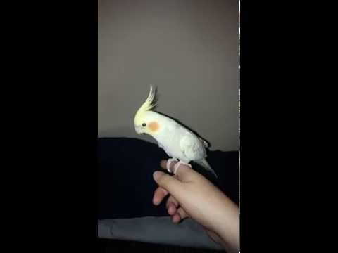 How cockatiels fly with properly clipped wings
