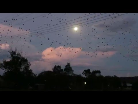 Bats of the Lockyer Valley    Rufus Innerbloom (H.O.S.H remix)