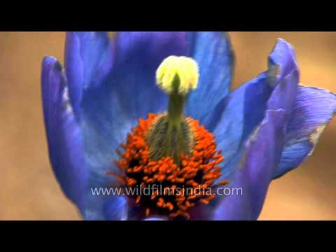 Most Beautiful Himalayan Flower? Rare Blue Poppy In Sikkim