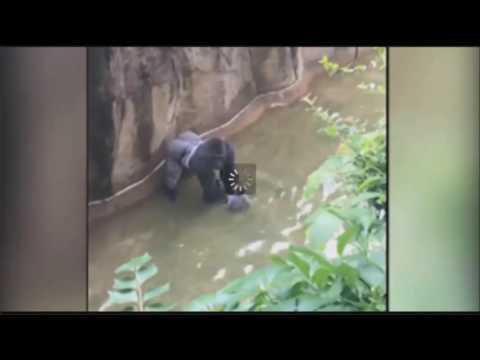 GORILLA shot DEAD after child fell into the GORILLAS HABITAT at Cincinnati Zoo!!