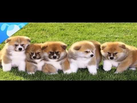 akita puppies is the popular dogs in USA | USA popular dogs life