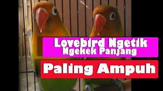 Lovebird ngetik ngekek panjang part ll paling ampuh