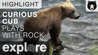 Curious Cub Plays With Rock - Katmai National Park - Live Cam Highlight thumbnail