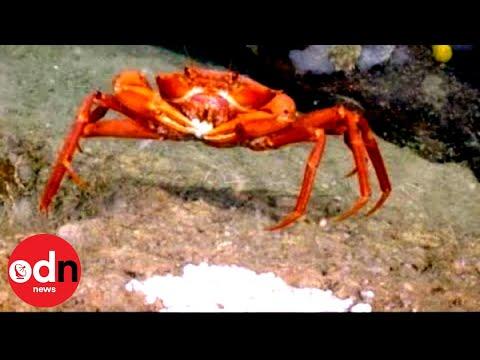 Rare Footage Shows Crab Feasting on Deep-Sea 'Fish Egg Buffet'