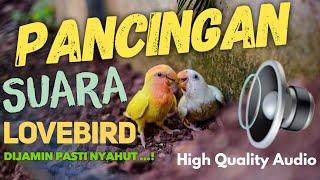 Lovebird Suara Ngetik ..  Love Bird Anda PASTI BUNYI, with High Quality Audio 🥇