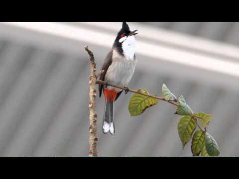紅耳鵯 Red-whiskered Bulbul