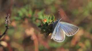 Restoring the Palos Verdes Blue Butterfly