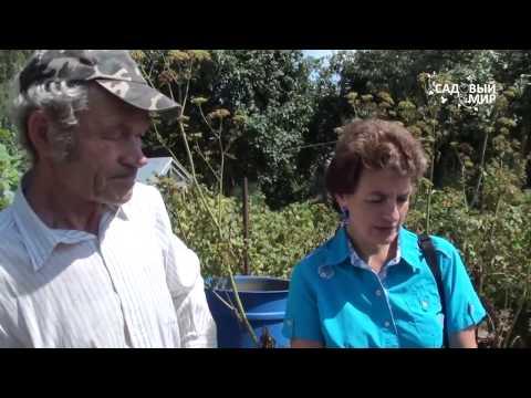Вопрос: Как собирать урожай шнитт лука?