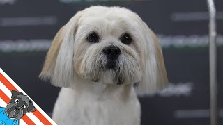 Lhasa apso  Full dog grooming