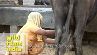 Indian village woman milking buffalo by hand, Uttar Pradesh