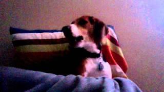 Beagle Howl
