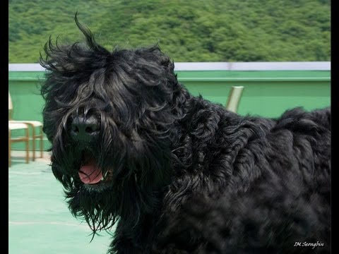 Black Russian Terrier / Dog Breed