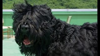 Black Russian Terrier (Russkiy Tchiorny Terrier) Dog Breed