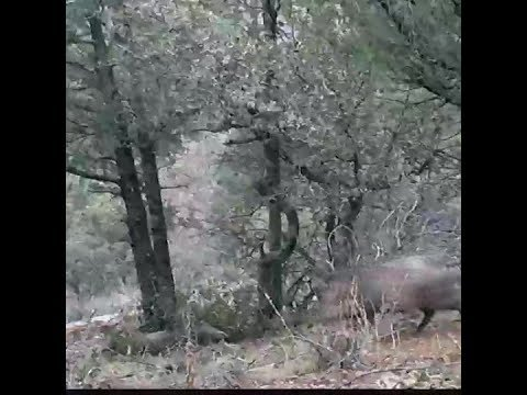 Peccaries appear to mourn their dead