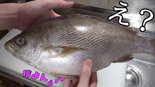 いやいや!流石に太り過ぎでしょ!はち切れ寸前まで餌を食べた極上の魚をさばいて寿司を作る!