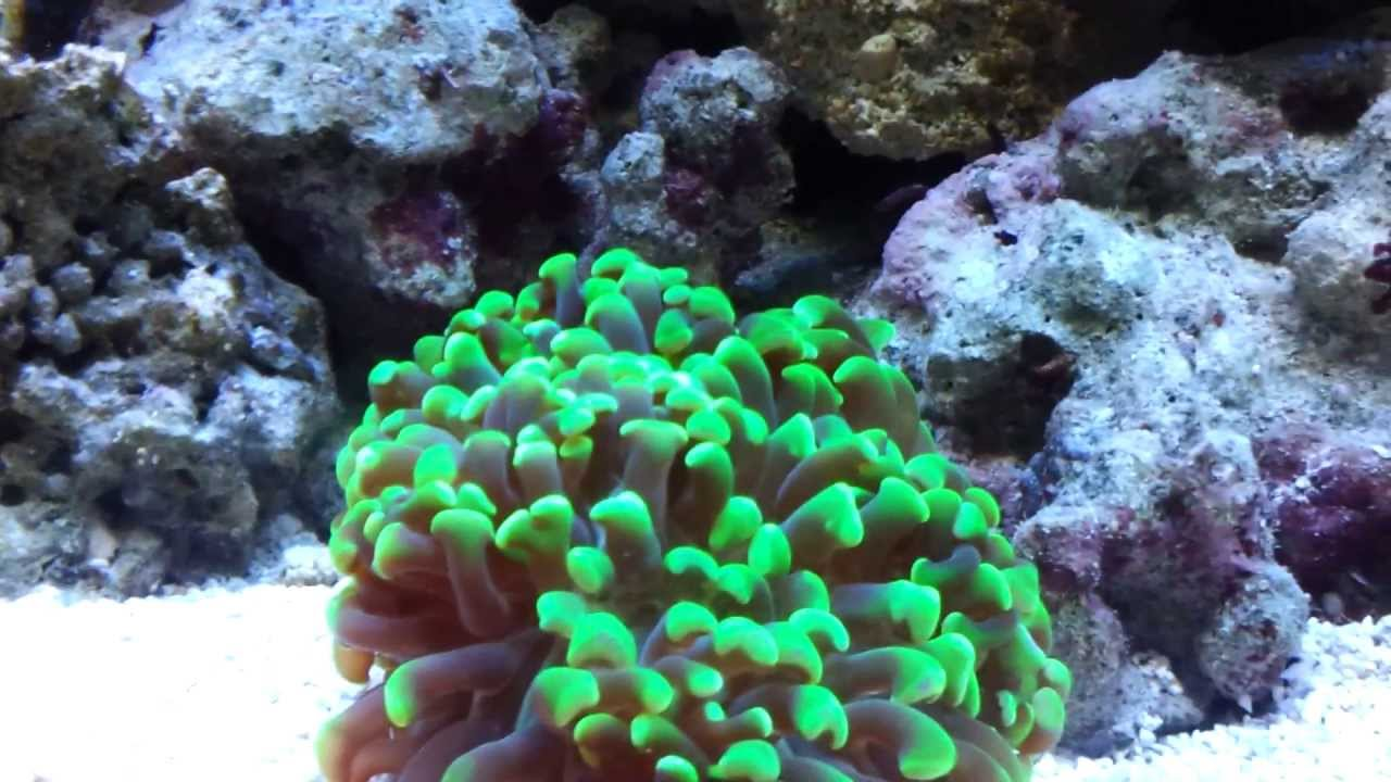 clownfish in hammer coral youtube