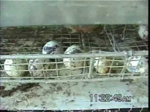 Como criar codornices en casa doovi for Cria de tilapia en casa