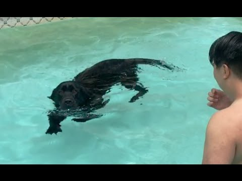 Bruce the Labrador Begins to Enjoy Swimming