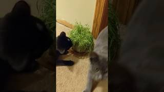 Russian Blue kitten eating grass and clawing my sock