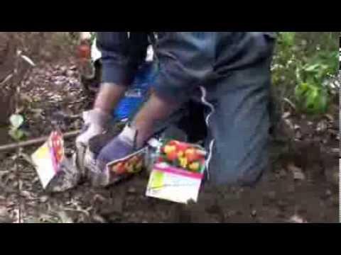Plantation des bulbes de Renoncules d'Anjou - YouTube