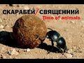 Скарабей священний все про жука mp3