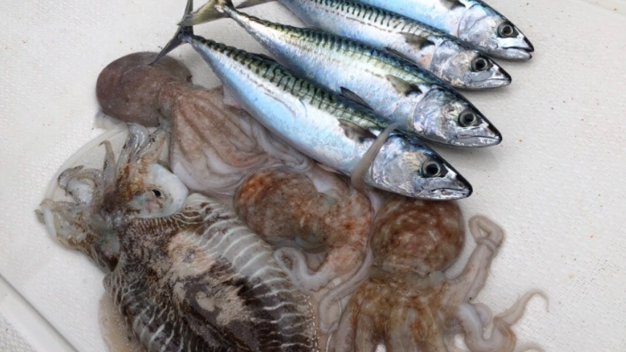 Sea Fishing - Mackerel, Octopus and Squid Fishing - Fish For Bait