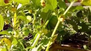 How Tomatillos Grow