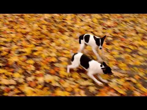 Ivan Weaver's Toy Fox Terrier Pups