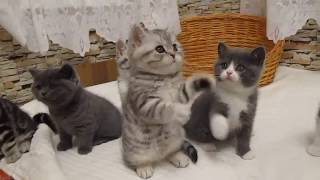 Маленькие котята британцы .Разноцветные,пушистые и очень милые