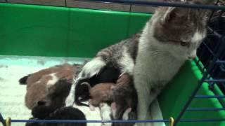 кошка кормит чужих котят
