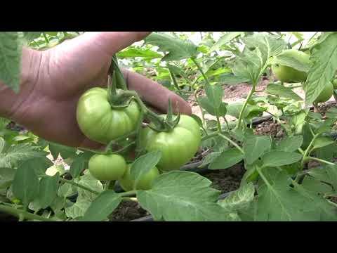 ШОК! Найден лучший стимулятор роста и развития  растений! Томат развивается быстрее