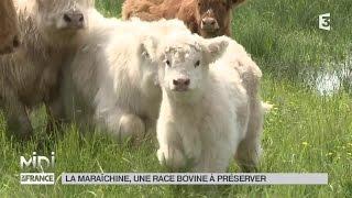 ANIMAUX : La maraîchine, une race bovine à préserver
