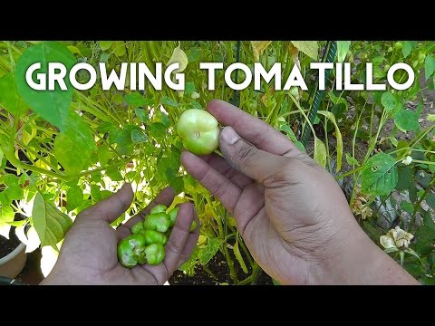 Tomatillo Planting, Growing, Harvesting - Enjoy this tangy twist on tomatoes!