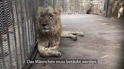 Rettung der Löwen im Sudan🔻🇸🇩🔻#SaveSudanLions 🦁 Löwe Mansour   VIER PFOTEN   www.vier-pfoten.at