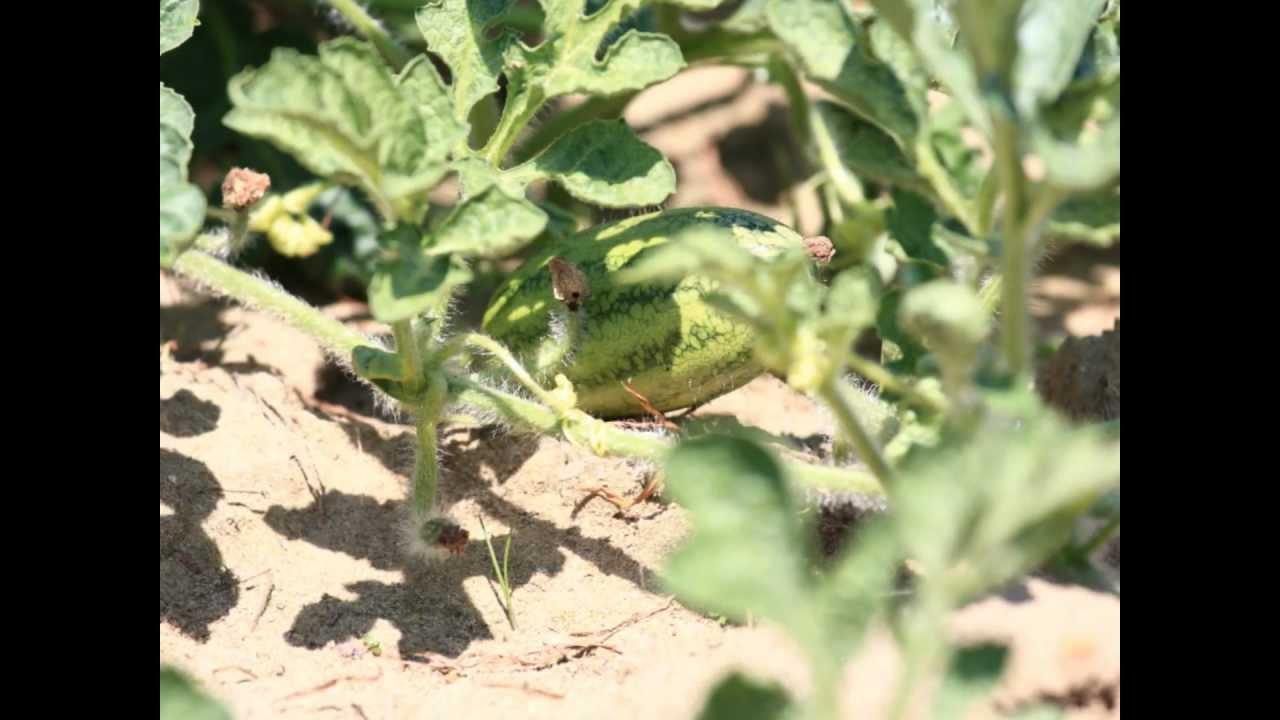 灣寶農學園---種西瓜.wmv - YouTube