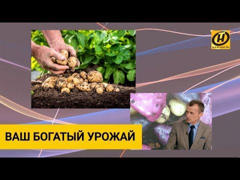 Картофель. Как вырастить богатый урожай? Советы белорусских учёных