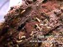 Termite colony is shown close up