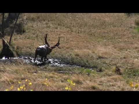 Wild Bill Kills Monster Idaho Bull Elk With Crossbow! 2018