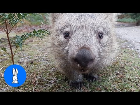 Furry Wombats Rolling Over - FUNNIEST Compilation
